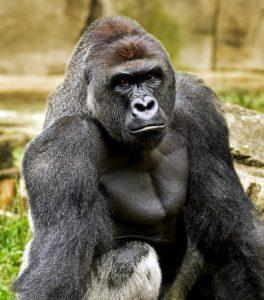 Harambe the gorilla, Harambe, Gorilla