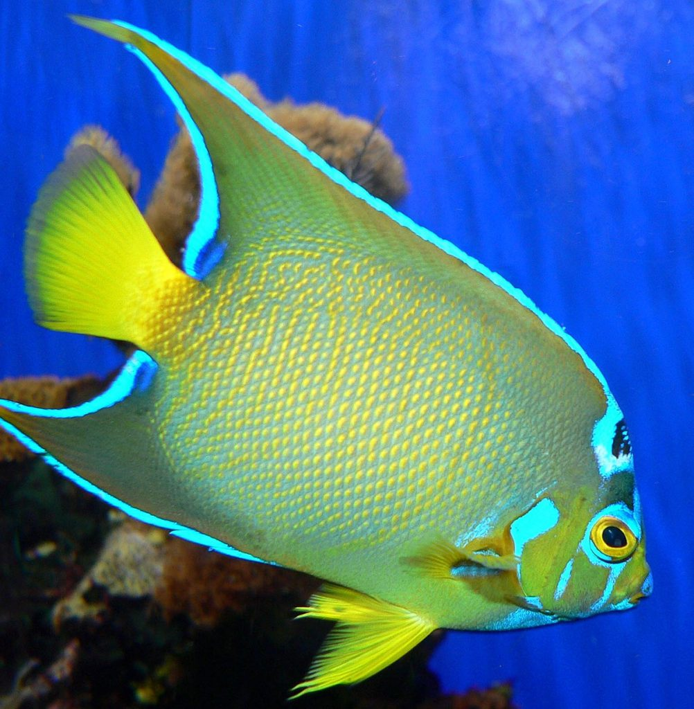 Tropical fish, blue and yellow tropical fish, tropical fish in the sea, fish in the sea, yellow and green tropical fish