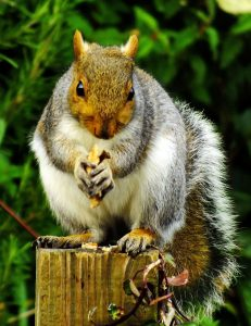 Squirrel, eastern gray squirrel, gray squirrel